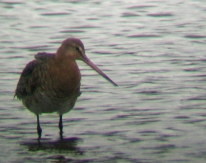 A Black Tailed Godwit